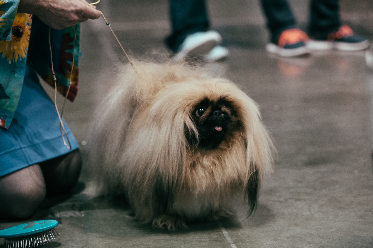 Last weekend the 2014 Seattle Kennel Club Dog Show brought over 2,000 dogs and their owners to the Century Link Event Center. Breed shows, obedience trials and agility courses were just some of the events these pups participated in. (Image: Joshua Lewis / Seattle Refined)