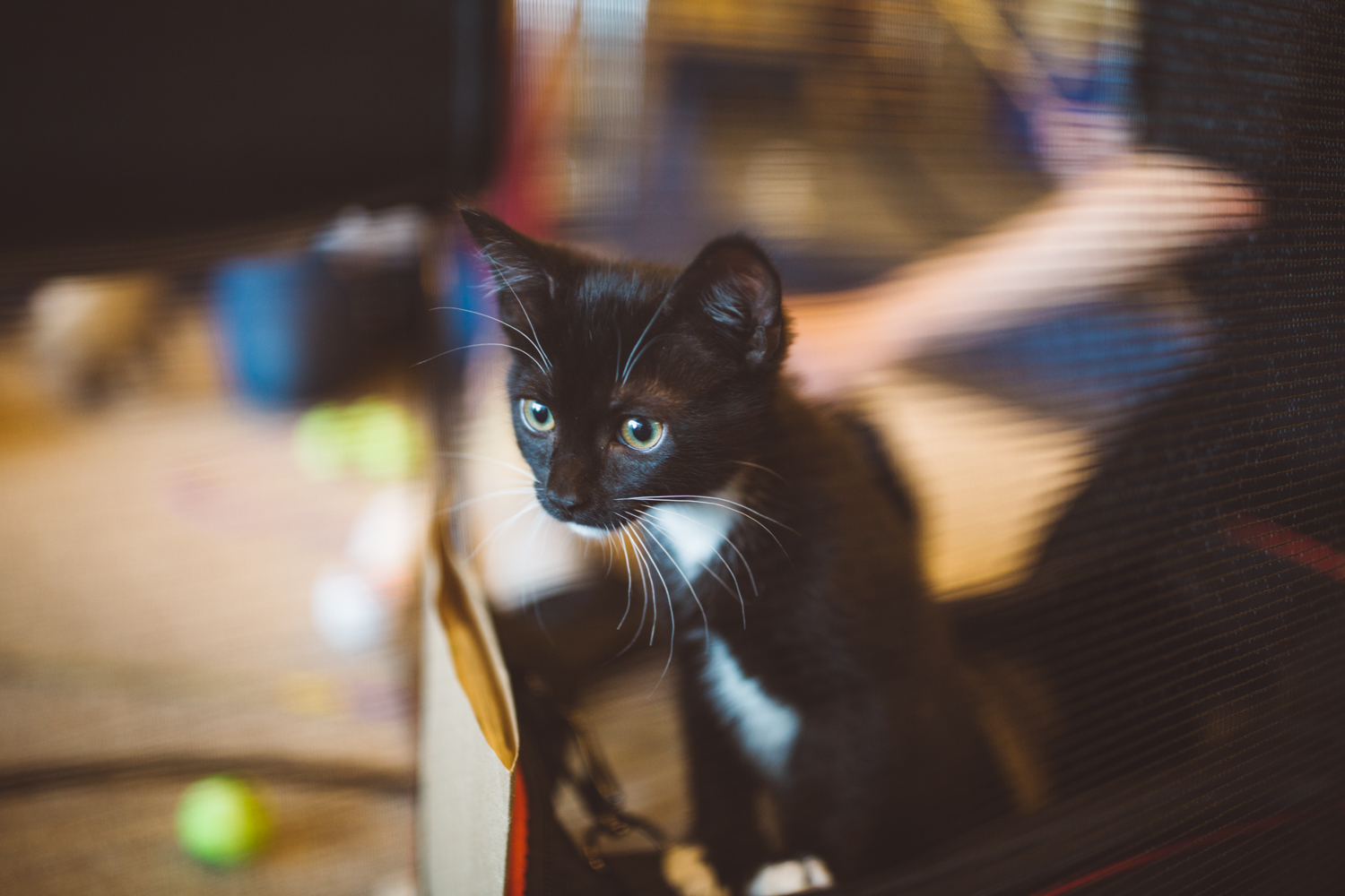 "For the 5th year in a row, Seattle City Hall became ""Kitty Hall"" for a day to help encourage adoption for the Seattle Animal Shelter. Guests were given the opportunity to snuggle, play, and love on the cute little fur balls as they roamed around and stole hearts. (Image: Ryan McBoyle / Seattle Refined)"