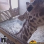Class uses giraffe birth live stream to learn life sciences
