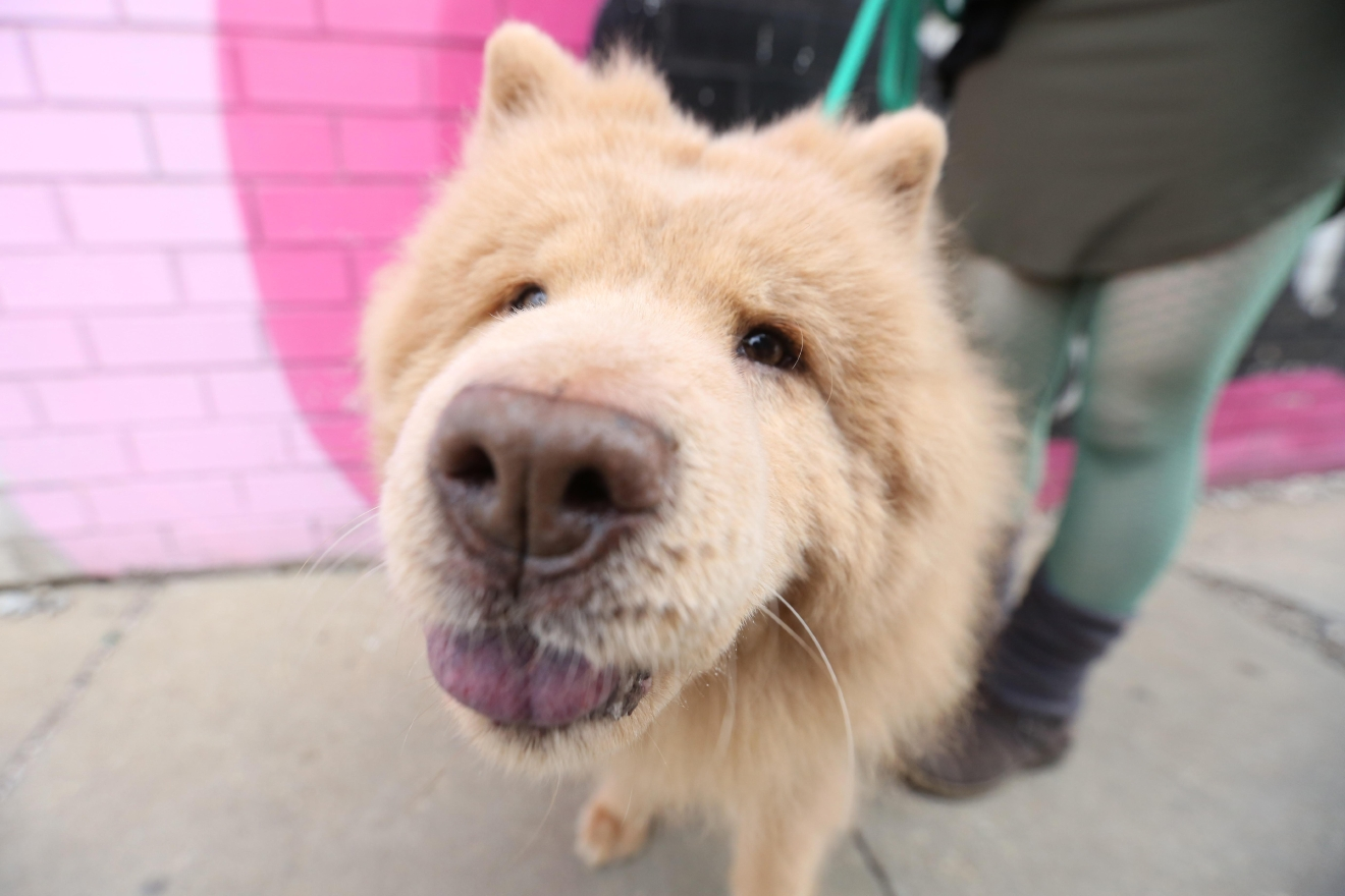 "Meet Bubbe, a 10-year-old Chow Chow who was adopted by her current family in September 2015. Bubbe was surrendered to the Fairfax County Animal Shelter by a breeder after she had just had puppies, which were taken away from her too soon, thus infecting her mammaries. She was fearful and distrustful of all humans and wouldn't eat for the first few days with her new family. Poor Bubbe! But slowly, with a lot of love and nurturing, she healed and began to bond intensely with her new family. Her parents named her ""Bubbe"" because she's a grumpy old grandma with allergies, but now she is living out her golden years sleeping (ALL day if you let her!), eating great food (dad is a butcher and loves to bring her home special treats) and snuggling with mom and dad. She often sighs loudly when asked to get up and go for a walk or perform a trick. You can see more of Bubbe's ""grumpy grandma"" personality on her Instagram page, at @bubbethechow! If you or someone you know has a pet you'd like featured, email us at dcrefined@gmail.com or tag #DCRUFFined and your furbaby could be the next spotlighted! (Image: Amanda Andrade-Rhoades/ DC Refined)"