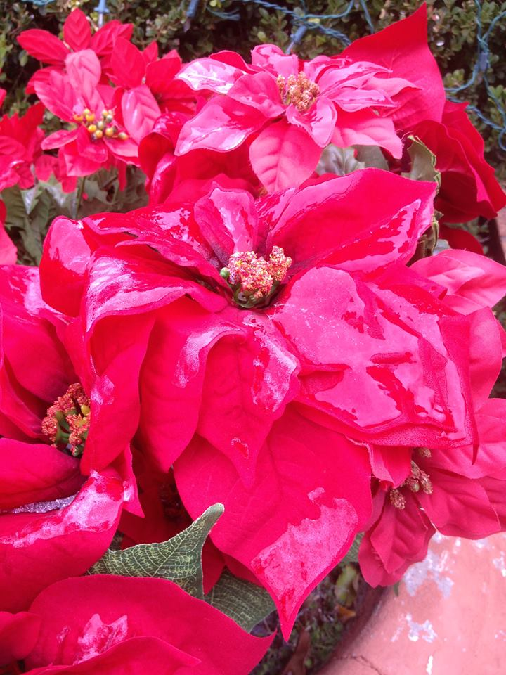Snow covered poinsettias in Edmond.
