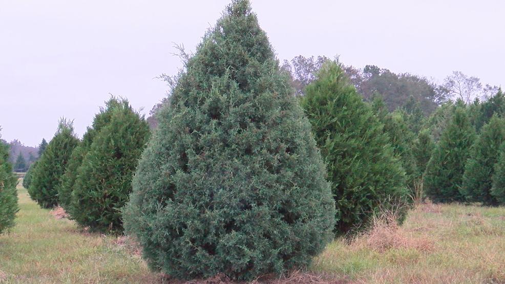 did hurricane michael spare middle georgias christmas tree farms wgxa
