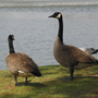 After aggressive attacks, USDA kills three geese near Chickamauga Dam