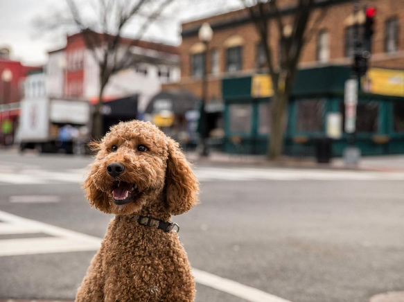 Copper The Poodle is a red standard poodle, who was Louisiana born, but D.C. raised! (IMAGE: IG user @copperpoodle)