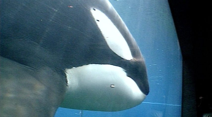 """Keiko put us on the map nationally and internationally,"" said Carrie Lewis, president and CEO of the Oregon Coast Aquarium.   For two years, millions of people crowded in to get a glimpse of the famed orca.  ""I mean, we started early,"" Lewis said, ""and we closed late."" (From file video)"