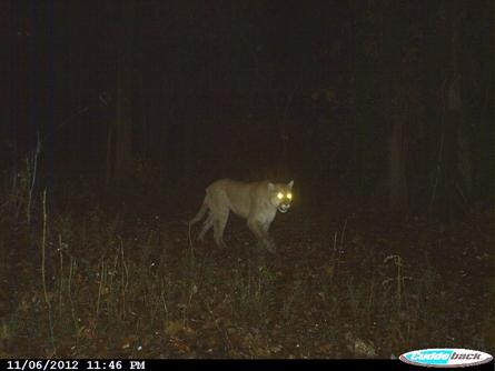 This cougar was captured by a trail camera in Pike County, Illinois near New Salem in 2012.