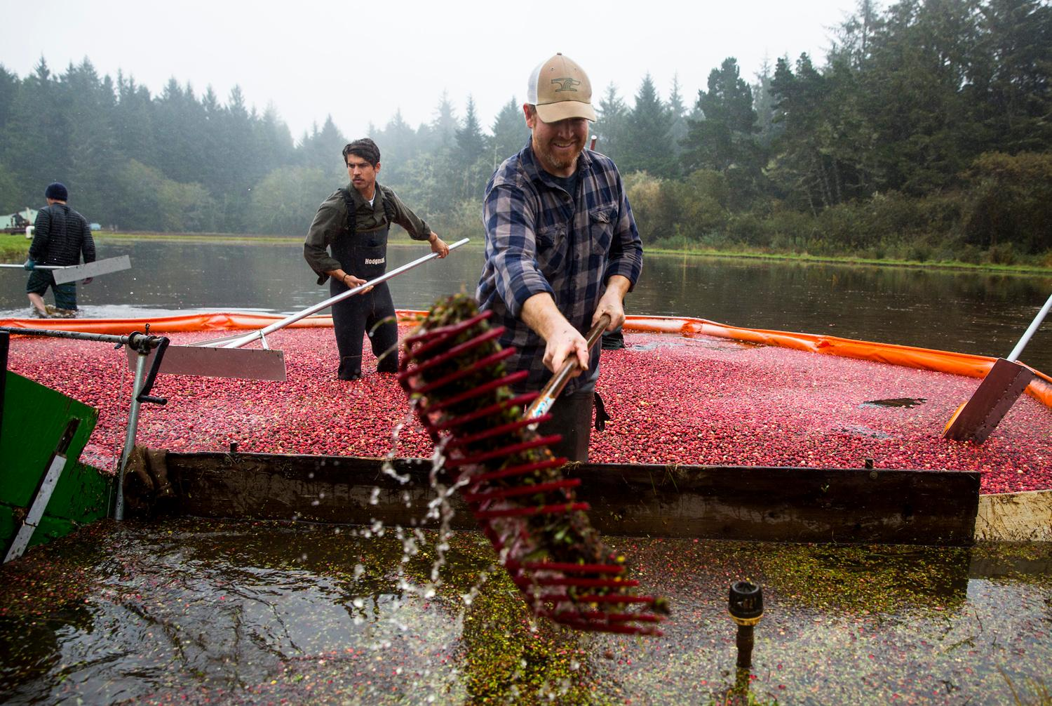 Brady Turner, co-owner of the local restaurant Pickled Fish, uses a rake to scoop plant debris from the floating cranberries during the annual harvest at Starvation Alley Farms. Turner's restaurant utilizes the farms cranberries and some of their cocktails and dishes. (Sy Bean / Seattle Refined)