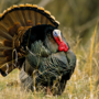 Nebraska fall turkey permits available Aug. 14