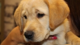 PHOTOS: Adorable guide dog puppies meet their raisers in downtown Portland