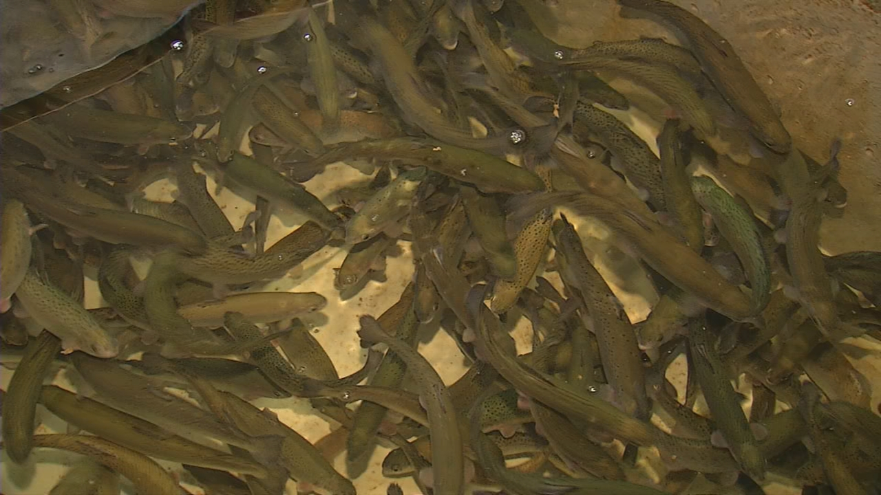 These rainbow trout were raised at the federal fish hatchery in White Sulphur Springs in Greenbrier County. (WCHS/WVAH)