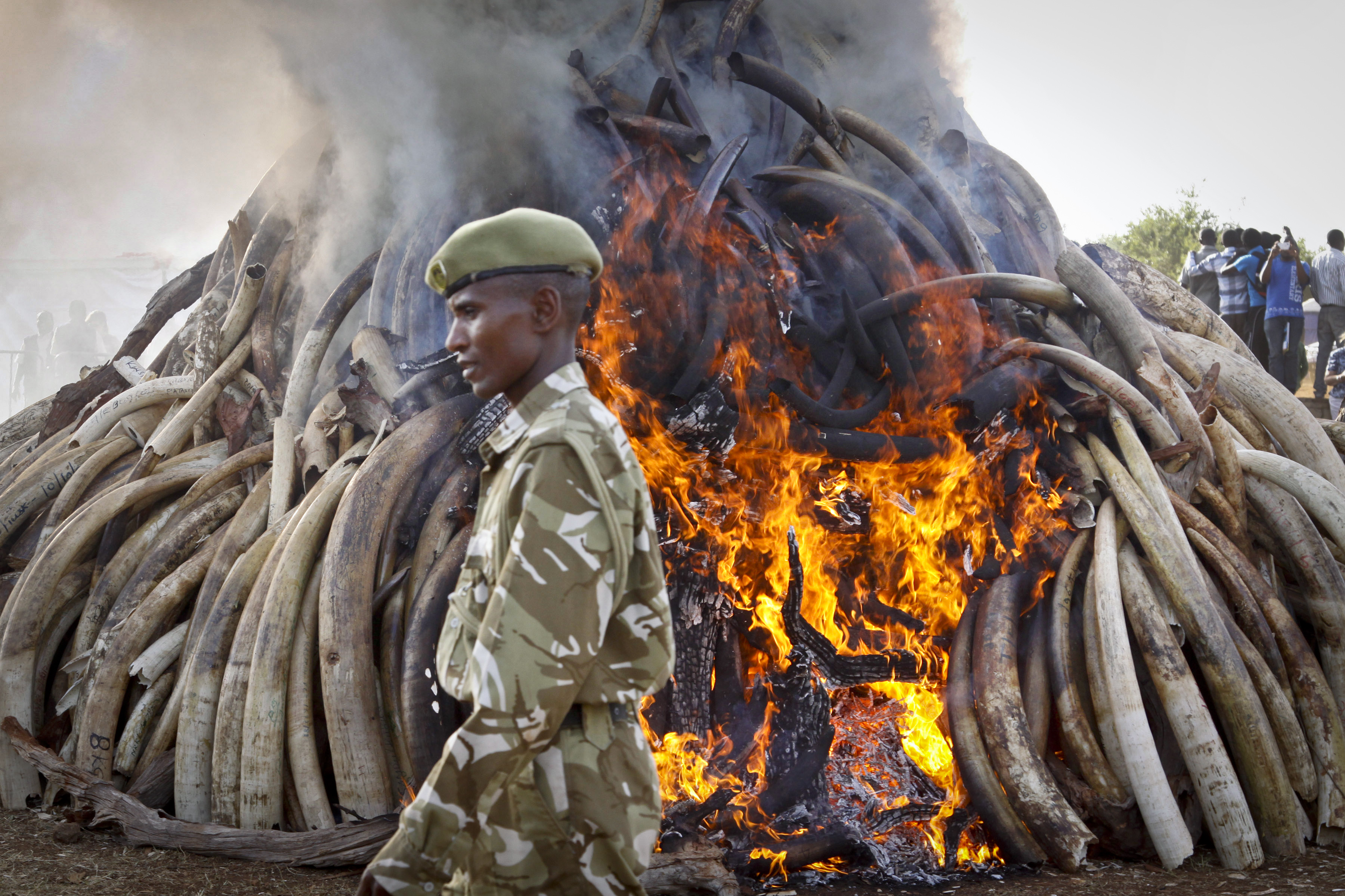 A ranger from the Kenya Wildlife Service walks past 15 tons of elephant tusks which were set on fire, during an anti-poaching ceremony at Nairobi National Park in Nairobi, Kenya Tuesday, March 3, 2015. Kenyan President Uhuru Kenyatta set fire to the elephant ivory during World Wildlife Day to discourage poaching, saying that 25 years after the historic banning of the ivory trade, new demand from emerging markets is threatening Africa's elephants and rhinos. (AP Photo/Khalil Senosi)