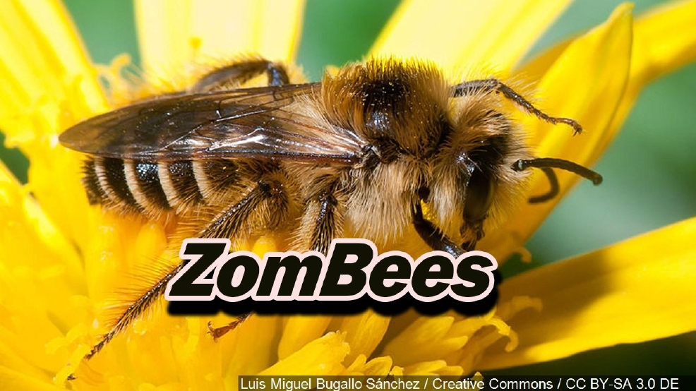 Can the 'ZomBees' invasion be stopped?