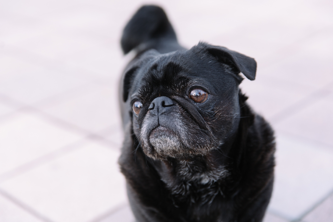 Arthur the Pug is our Seattle RUFFined spotlight this week! Arthur is 9 years old or 756 months (in dog years). He loves cheese, car rides, laying in the sun and snuggling with his fur parents.  He hates the dog park, lettuce, being held or picked up.                                           The Seattle RUFFined Spotlight is a weekly profile of local pets living and loving life in the PNW. If you or someone you know has a pet you'd like featured, email us at hello@seattlerefined.com or tag #SeattleRUFFined and your furbaby could be the next spotlighted! (Image: Joshua Lewis / Seattle Refined)