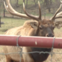 Four elk put down after weekend escape