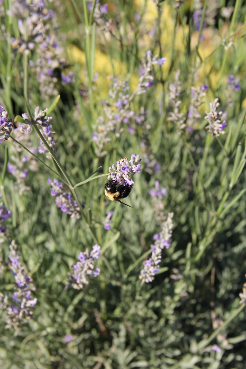 Bumble bees and lavender. Afternoon at the Nietch house. (Image: Clay Griffith / Cincinnati Refined)