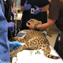 Cheetah Cub at Wildlife Safari undergoes MRI to hopefully answer tricky health questions