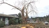 Storm damage dooms significant sycamore