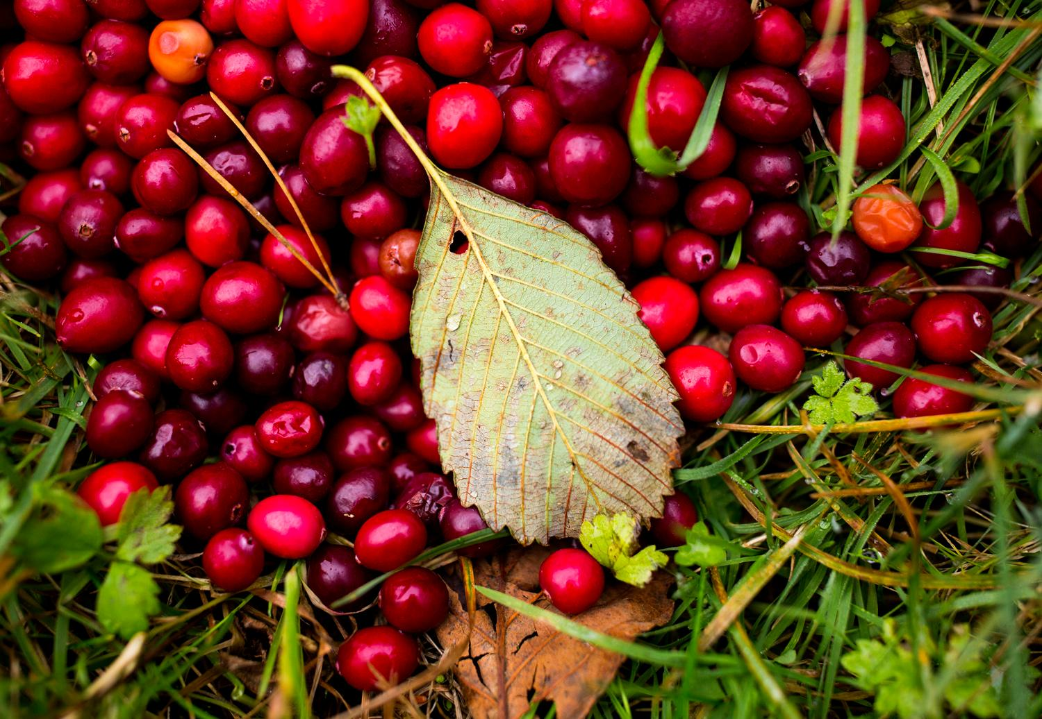 Leftover cranberries are scattered along the ground at Starvation Alley Farms. (Sy Bean / Seattle Refined)