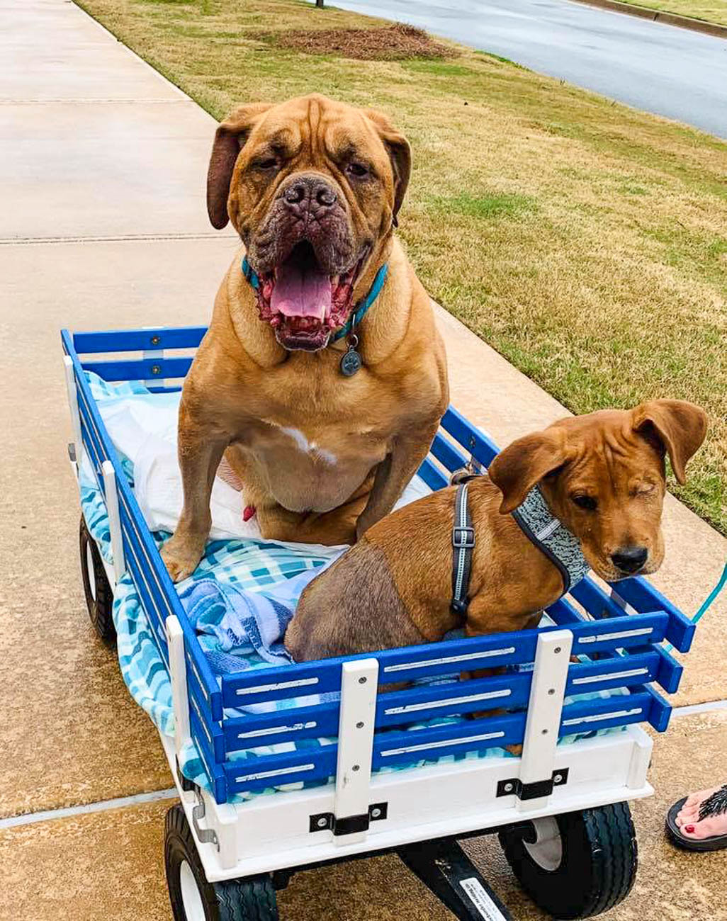 Trooper and his puppy brother, Oliver, going for a wagon ride / Image courtesy of The Trooper Telegraph // Published: 9.8.19