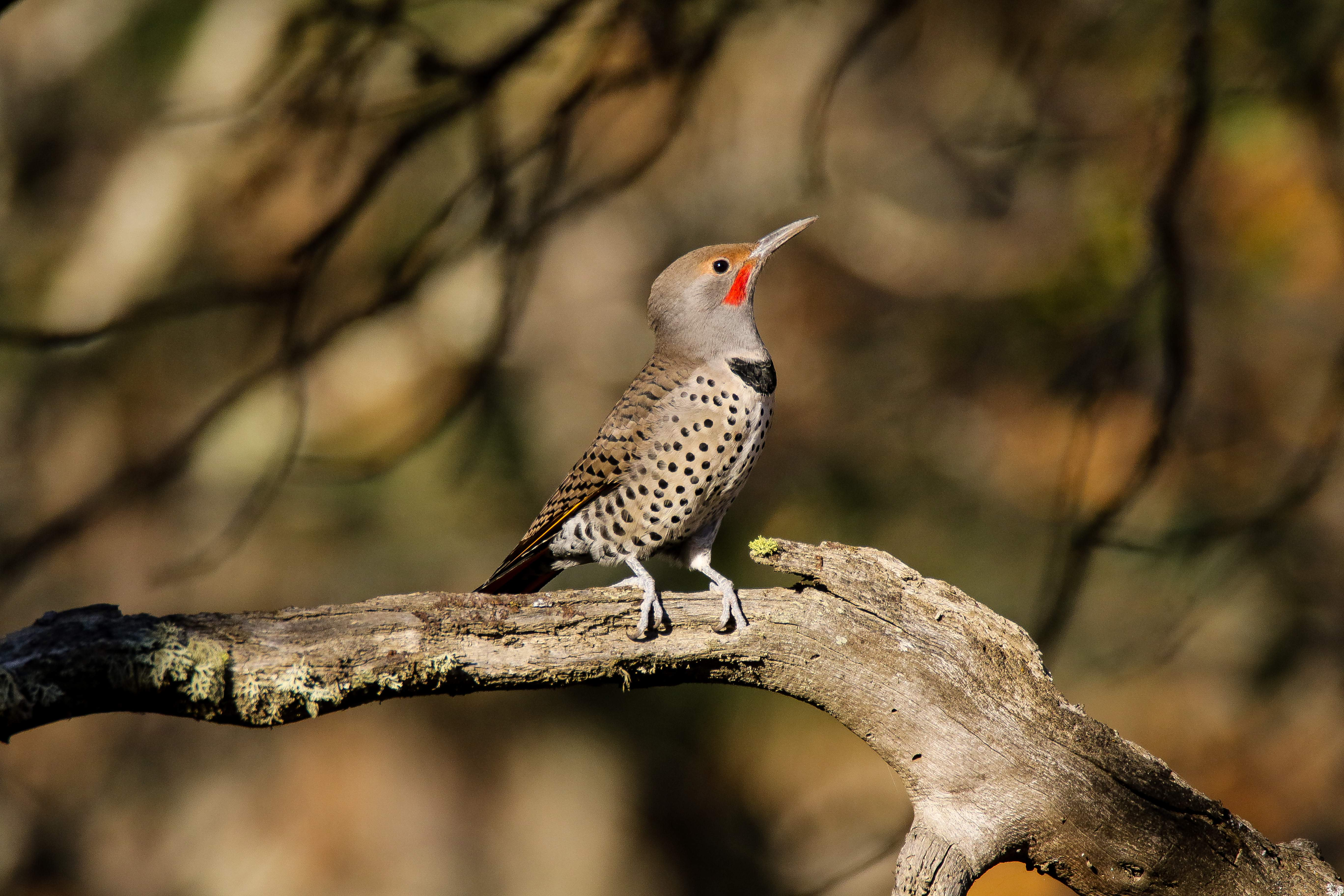 Northern flicker along Emigrant Creek - Photo by Mark Heatherington