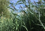 Phragmites near East River in Allouez.JPG