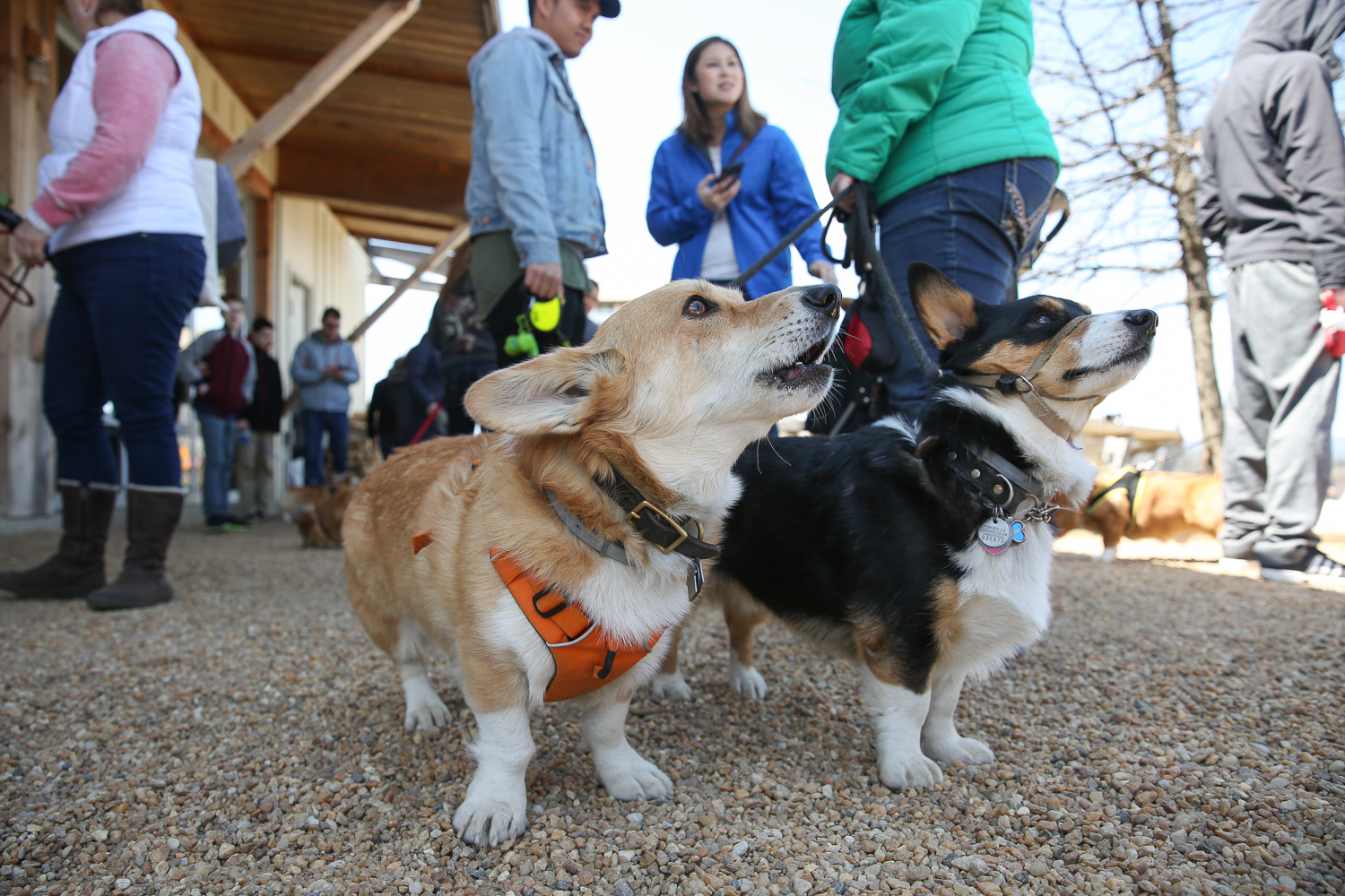 Moogle the fluffy corgi turned four this weekend, joined by roughly 50 other corgis at Barrel Oak Winery. The celebration benefitted the D.C.-based East Coast Corgi Rescue. Four-legged guests were able to enjoy plenty of socializing, lounging in the sun and treats, but humans were able to enjoy wine, snacks, a raffle and, of course, plenty of cute corgis. (Amanda Andrade-Rhoades/DC Refined)
