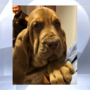 Meet Sammy! Clermont County Sheriff gets new bloodhound puppy