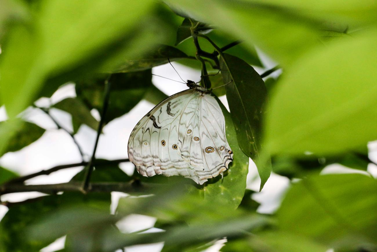 White Morpho (closed wing) / Image: Tommy Zipperstein // Published: 5.5.17