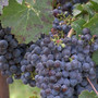 Benton County a major contributor to state's wine production with record harvest expected