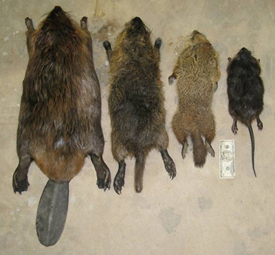 Left to right: beaver, nutria, groundhog, muskrat. An adult nutria is about 1/3 the size of an adult beaver and over 5 times the size of a muskrat. Beavers have broad, dorsally-flattened (top to bottom) tails and black whiskers. Muskrats have virtually hairless, laterally-flattened (side to side) tails and black whiskers. The nutria in this image has a stub-tail, likely caused by frostbite. Neither beavers nor muskrats have a white muzzle or white whiskers. (Photo courtesy of the Skagit Nutria Advisory Committee.)