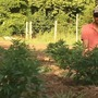 TN Hemp Farming: A growing industry offering another cash crop option