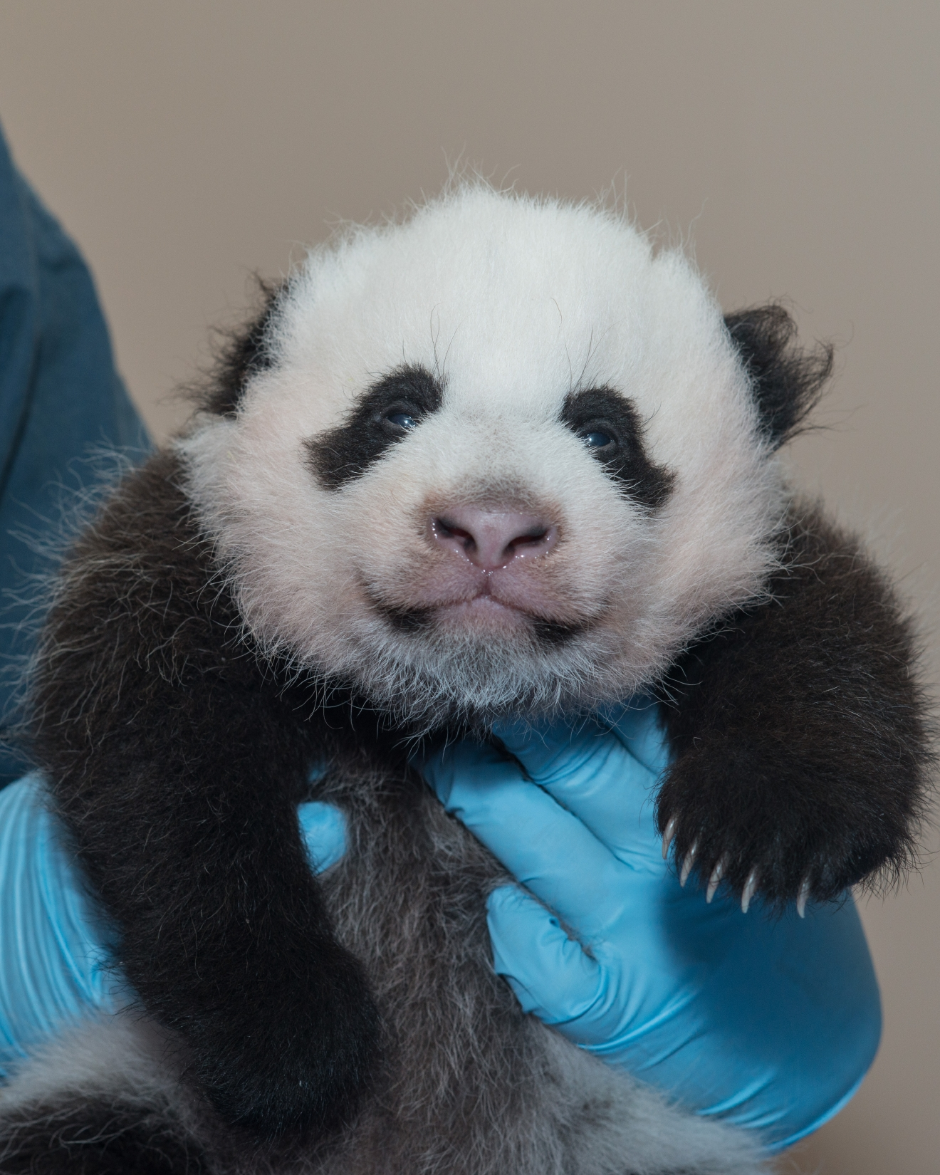 If there's anything that will unite all of D.C. it's our love for these fuzzy, tumbling, bamboo-loving little cuties! To celebrate the greatest national day we have heard of yet -- and yes, that's totally an objective opinion -- we rounded up a few of our favorite photos we've amassed of D.C.'s First (Panda) Family: Tian Tian, Mei Xiang, Bao Bao (WE MISS YOU!) and little Bei Bei! We hear there could be another panda cub in the future (Mei Xiang was artificially inseminated earlier this month), so stay tuned and enjoy! (Image: Courtesy Abby Wood/Smithsonian's National Zoo)