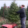 Kingsley christmas tree farm sells hundreds this weekend
