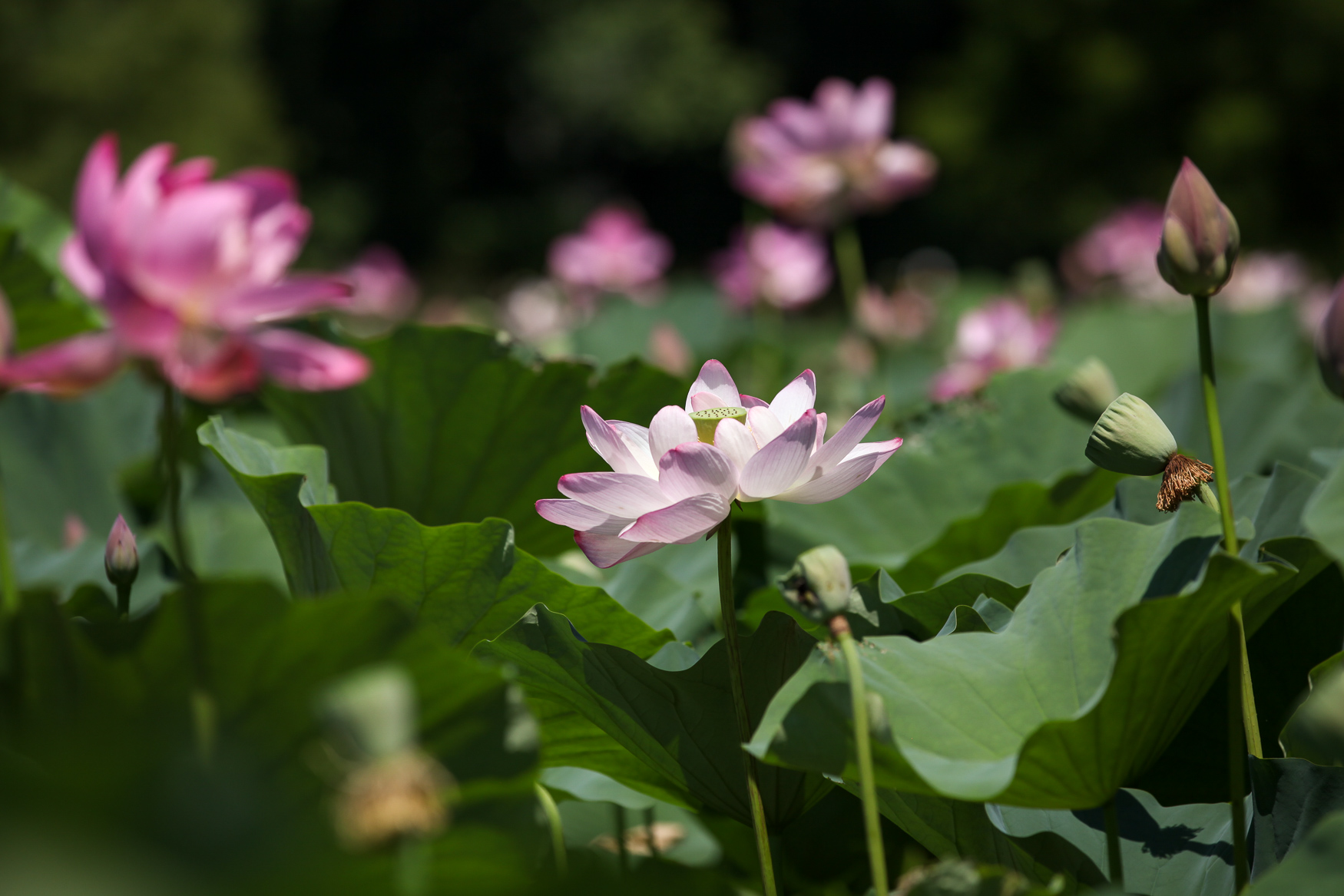 The lotuses and lilies of the Kenilworth Park and Aquatic Gardens are in bloom right now, making it the best time to visit this Anacostia gem. Although the park will hold its annual Lotus and Water Lily Festival between July 21-22, the lotuses have started unfurling their petals. Although the festival will include entertainment, right now the gardens are fairly quiet and filled with stunning blooms, dragonflies and bumble bees. (Amanda Andrade-Rhoades/DC Refined)
