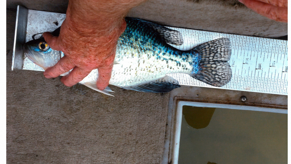 Ketchum man catches record breaking fish kboi for Cj strike fishing report