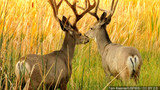 Illinois firearm deer harvest down 8.5 percent this year