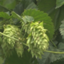 Slower growth in craft brewing leads to hops surplus