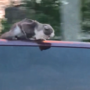 CAUGHT ON CAMERA: Cat hangs onto van at 60 mph