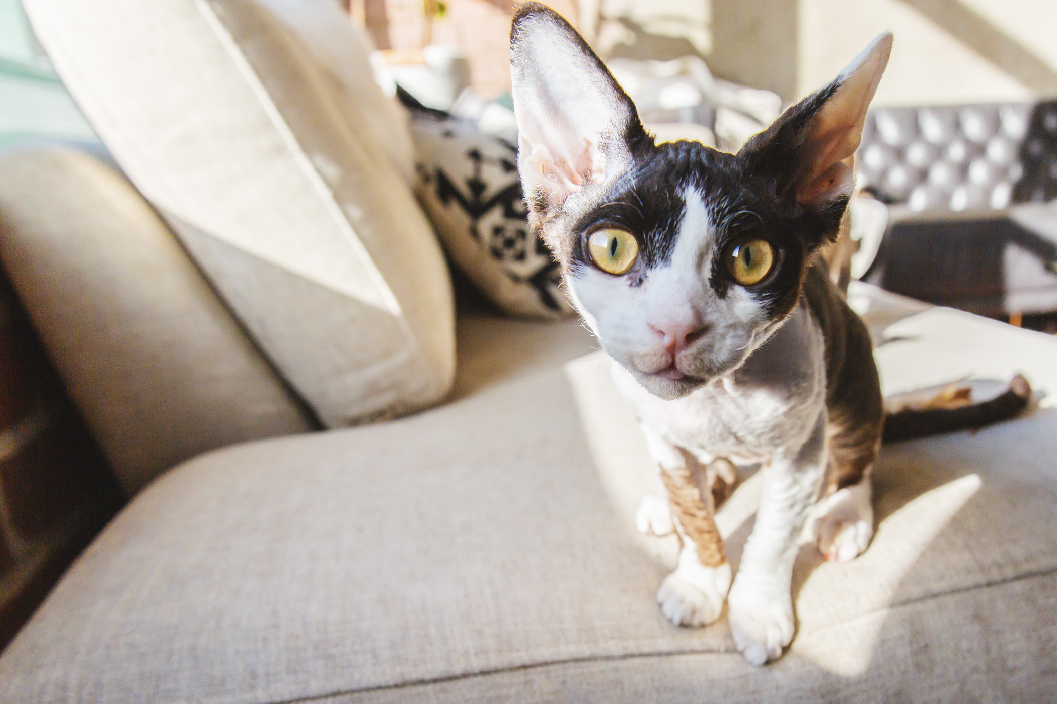 <p>Meet Lindsey Buckingham, the Devon Rex. LB is almost five months old and likes toys with bells, shoelaces and being held. He dislikes when his big sister cleans him, when humans clean him, being left alone and being woken up. You can follow LB's journey through life on Instagram at @steviethedevonrex.{&nbsp;}The Seattle RUFFined Spotlight is a weekly profile of local pets living and loving life in the PNW. If you or someone you know has a pet you'd like featured, email us at hello@seattlerefined.com or tag #SeattleRUFFined and your furbaby could be the next spotlighted! (Image: Sunita Martini / Seattle Refined).</p>