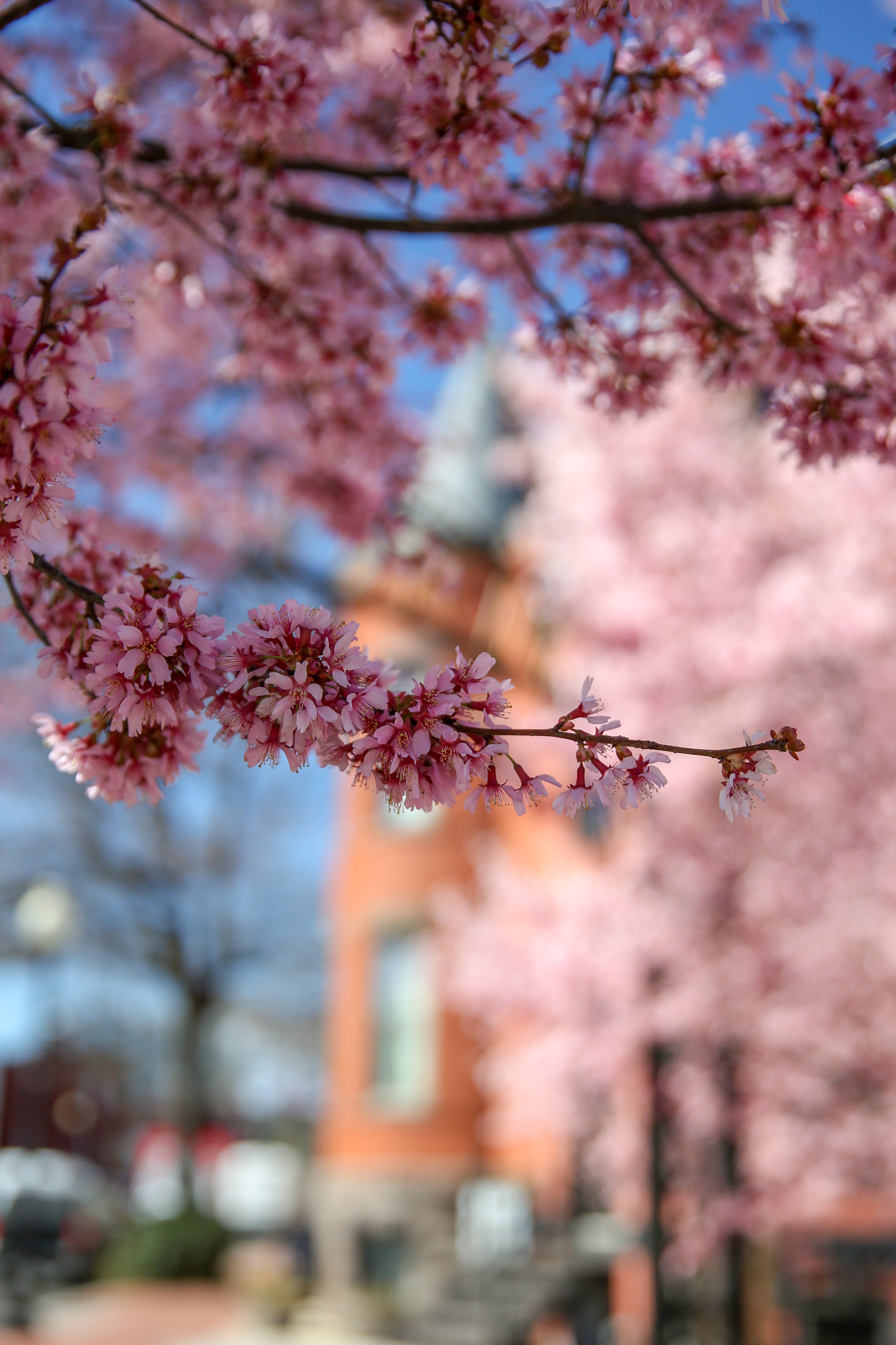 LeDroit Park has some of the most outstanding blooms at the moment, in case you want to get ahead of the curve on your cherry blossom selfie.  (Amanda Andrade-Rhoades/DC Refined)