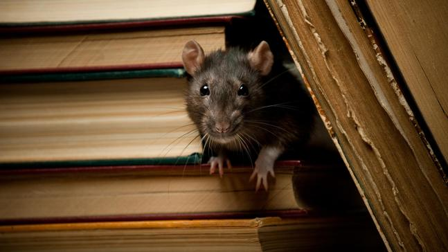 5 facts about rats that are equal parts gross and true