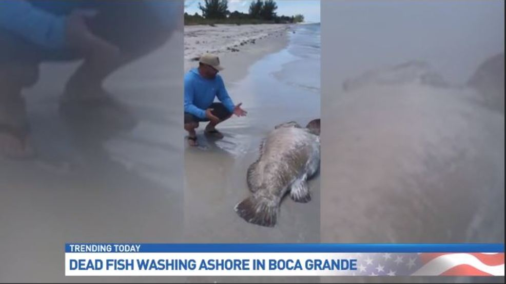 Fwc Believes Red Tide To Blame For Dead Fish On Floridas West Coast