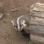 Badgers threaten Oregon dam's safety