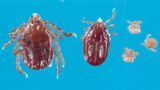 Veterinarian says longhorned tick found in Putnam County