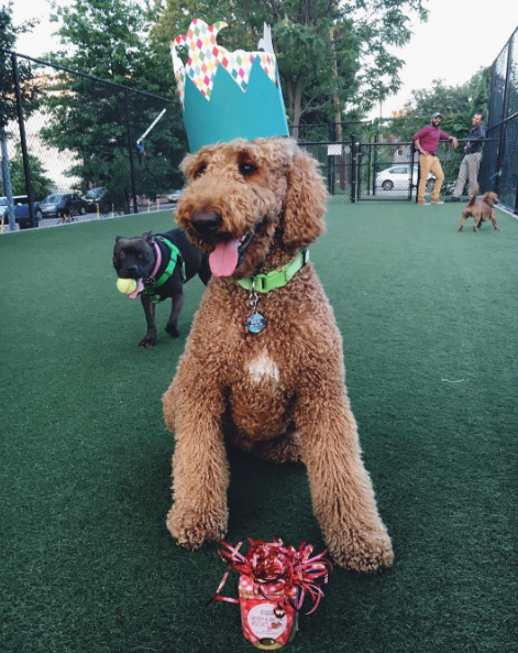 Myles Paddington S is a goofy, belching, muppet-faced, 56 lb hunk of fluff, whose loving life in the nation's capital. (IMAGE: IG user @mylesthedoodle)