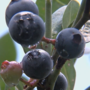 Bye-bye to blueberry picking; season ends two weeks early
