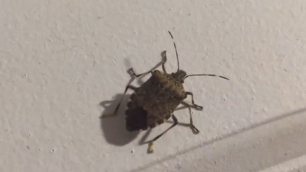 are stink bugs attracted to light