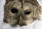 owl rescue whately police 7.jpg