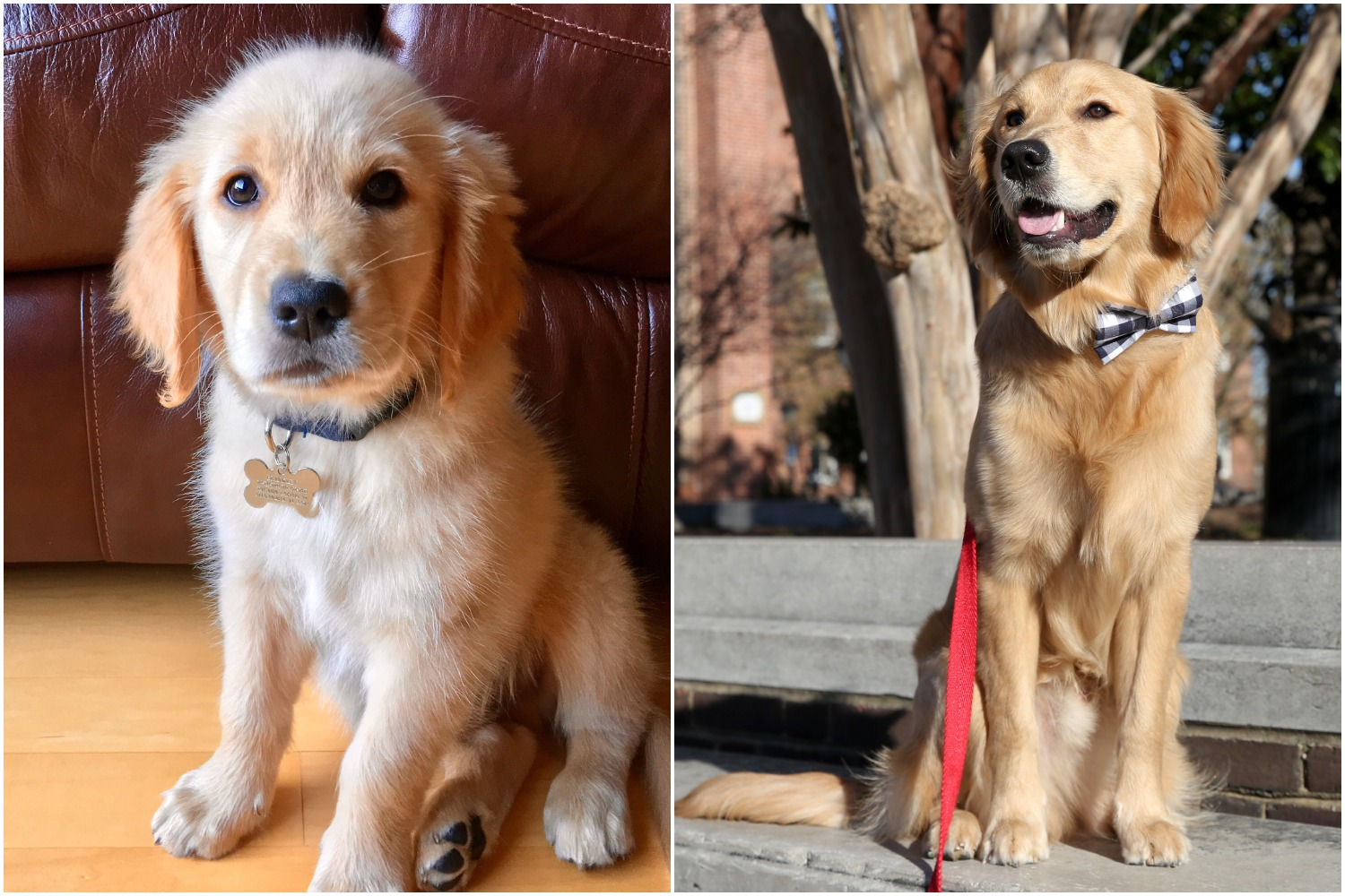 Brinkley has always been a sweet golden fluff ball!{ }