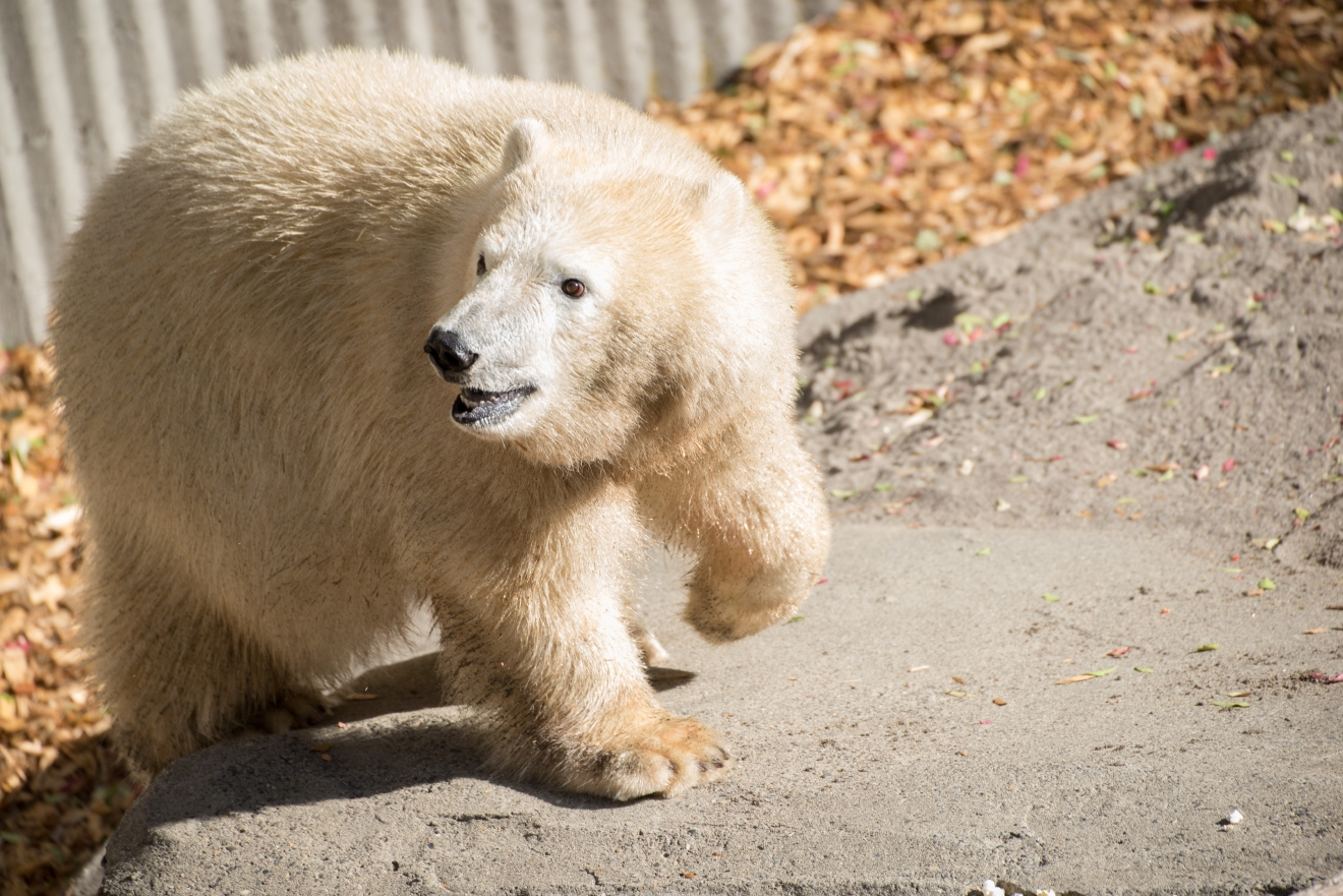 10-month-old polar bear cub Nora explores her quarantine enclosure shortly after her arrival at the Oregon Zoo. ©Oregon Zoo/ photo by Shervin Hess